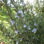 Rosmarinus officinalis is a strongly scented Mediterranean herb.
